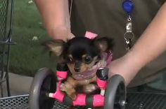 Tiny Dog Uses Wheelchair To Spread Happiness - may be cutest thing I've ever seen :)