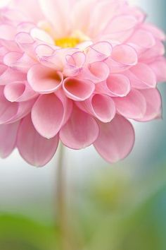 It's a DAHLIA - actually a bulb you plant in the spring to bloom in summer. My Flower, Pretty In Pink, Pink Flowers, Beautiful Flowers, Perfect Pink, Beautiful Gorgeous, Simply Beautiful, Beautiful Things, Pink Petals