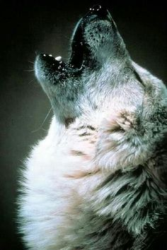 Howling wolf. ~~ Paul Lahote, fanfiction, GeezerWench, Twin Souls, Twilight, silver, grey, gray