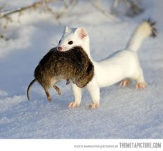 I want whatever the white animal is! Anyone know?   ---------of course!  the winter phase of a beautiful little fierce weasel----- called an Ermine!