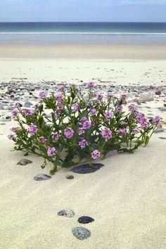 The beautiful white sand beach at Bagh Siar on the island of Vatersay in the Western Isles of Scotland. You can stumble across plants when walking. Costa, Outer Hebrides, Scottish Islands, Am Meer, Scotland Travel, Belleza Natural, White Sand Beach, British Isles, Dream Vacations