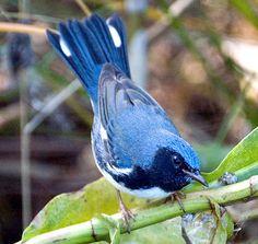 Black throated blue warbler, via Flickr.