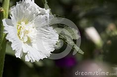 Photo about White hollyhock in the yard macro close-up. Image of tall, background, eggs - 57834558
