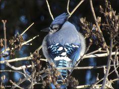 Gezien in Central Park New York, maar niet zo mooi op de foto kunnen zetten als hier. Prachtig, deze Bleu jay.
