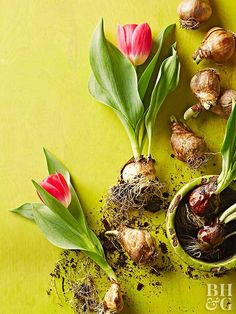 See how to trick tulips into early bloom so that you can enjoy them in those not-so-warm months.