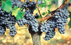 Château Franc Cheverny, Wine Cheese, Bordeaux, Fruit, Wine Vineyards, France, Lawn And Garden, Bordeaux Wine