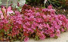 50 Seeds Sedum Seeds - Purple Carpet- (Spurium Coccineum)... http://www.amazon.com/dp/B00VX4JG1Q/ref=cm_sw_r_pi_dp_L.duxb0QR2K7J
