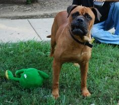 Tennessee Tom is an adoptable Bullmastiff Dog in Jonesville, NC. Meet Tom He is fine with other dogs and children Tom is well behaved in the house. He walks GREAT on a leash and crate trained. Tom lik...