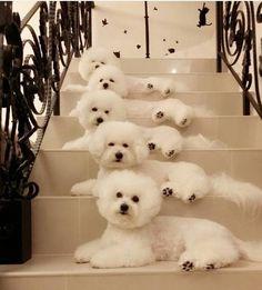 Stairway of beautiful Bichons. ❤️