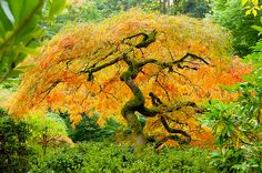 Acer palmatum (Japanese Maple): sap is lower in sugar, but still sugary, also young leaves are edible. Beautiful specimen trees.