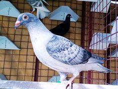 Pigeon Pictures, Pet Birds, Parrot, Fish, Animals, Pigeon, Magick, Birds, Naturaleza