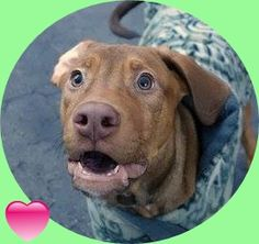SAFE 01/25/15 --- Manhattan Center DAVID - A1024428 MALE, BROWN, PIT BULL / LABRADOR RETR, 6 mos STRAY - STRAY WAIT, NO HOLD Reason STRAY Intake condition EXAM REQ Intake Date 12/31/2014, From NY 10458, DueOut Date 01/04/2015 https://www.facebook.com/photo.php?fbid=935207339825479