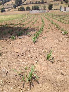 Comienzan a  aparecer las pequeñas plantas de maíz esperando la temporada de lluvias.