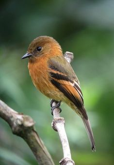 Pyrrhomyias cinnamomeus / Atrapamoscas canelo / Cinnamon F… Exotic Birds, Colorful Birds, Pretty Birds, Beautiful Birds, Bird Template, Kinds Of Birds, Mundo Animal, Little Birds, Fauna