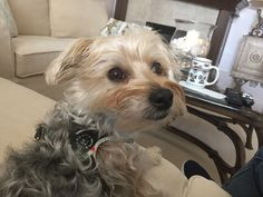 Yorkshire Terrier Haircut, Hair Cuts, Dogs, Animals, Haircuts, Animales, Animaux, Pet Dogs, Doggies