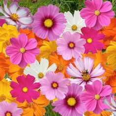 Cosmos. I always plant the orange ones. My grandma called them 'bright lights' She gave me a handful of seeds  the year I got married, have been in my garden or yard for the past 27 years :)