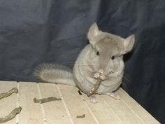 Jeune chinchilla au prise avec une racine de pissenlit !