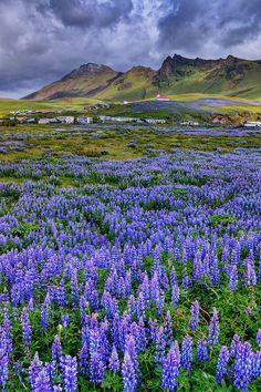 Lupins Fields, Iceland Beautiful World, Beautiful Places, Fotografia Macro, Voyage Europe, Iceland Travel, Beautiful Landscapes, Wonders Of The World, Wild Flowers, Lupine Flowers