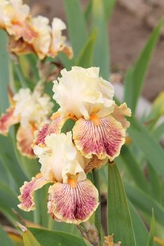 ~Tall Bearded Iris 'Girl Gone Wild'