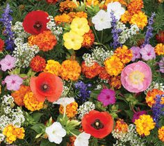 Deer Resistant Flower Mix -  Four-O'Clock  Larkspur, Rocket  Lupine, Perennial  Poppy, California  Gaura  Poppy, Corn  Lavender, True  Mint, Lemon  Alyssum, Tall White Sweet  Marigold, French 'Sparky Mix'  Hyssop, Lavender  Foxglove  Bergamot  Poppy, Oriental  Yarrow, Gold