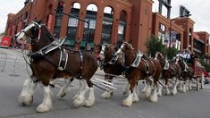 budweiser clydesdale horses at night St Louis Cardinals Game, Stl Cardinals, Shire Horse, Horse Stables, Warm Springs Ranch, Clydesdale Horses Budweiser, Budweiser Commercial, Busch Stadium, Majestic Horse