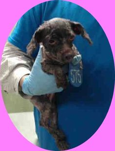 ❥★❥RESCUED❥★❥ ~ Animal ID #A443654  My Name is LUCIE. I am a Female (Spayed), Brown Poodle - Standard mix. The shelter thinks I am about 5 years and 11 months old. I have been at the shelter since September 24, 2015. Harris County Public Health and Environmental Services  Telephone ‒ (281) 999-3191 612 Canino Road  Houston, TX https://www.facebook.com/OPCA.Shelter.Network.Alliance/photos/pb.481296865284684.-2207520000.1443224614./899775926770107/?type=3&theater