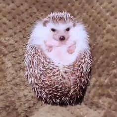 Comment funny in your language This hedgehog smells like food and opens up like a flower humor cute animals Cute Little Animals, Cute Funny Animals, Funny Cute, Cute Animal Humor, Cute Animal Videos, Cute Animal Pictures, Cute Videos, Cute Pics, Cute Hedgehog
