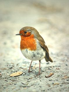 Robin Bird - I knew the robin bird was generally liked, i thought that this was because it was associated with christmas, although this is one reasons after doing some research i learned that it was quite a tame bird and gets very close to people.