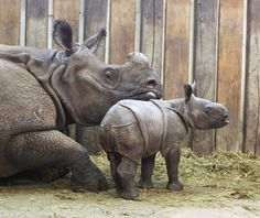 Meet the first Indian Rhino baby born in Poland -- at Warsaw Zoo! You can see more pictures and watch a video of his daily bath on Zooborns.