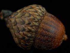 Acorn: strength, money, health, protection. Sleep with them under your pillow and you may overcome challenges in your life. An acorn should be carried to bring luck and ensure long life. Acorns placed in the window guard against lightning. Carry three acorns as charms to invoke youth, beauty and attainment upon its owner. Planting an acorn in the dark of the Moon will bring you money. Acorns hung in the window from the sill are said to bring prosperity and luck to the home.
