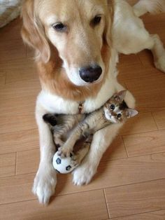 naglly:  子猫見守り犬(via I protect your kitty - Imgur)