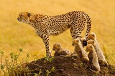 This beautiful cheetah (Acinonyx jubatus), a protective mother of five, watches cautiously from atop a termite mound as two lions slowly approach her family through African grasslands. She stands ready to protect her young cubs...at any co