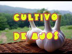 Cultivo de ajos en el huerto (tuhuertofacil.es)