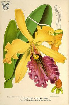 Queen Cattleya. Cattleya dowiana. A particularly beautiful Cattleya. Flower petals and sepals are yellow. Lip is deep crimson purple, veined gold. L' Illustration horticole, vol. 14 (1866) [P. Stroobant]