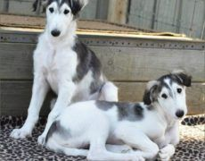 Borzoi Dog Info, Mixes, Temperament, Training, Puppies, Pictures Borzoi Puppy, Miniature Pug, Russian Wolfhound, Pug Puppies, Puppy Care, Wild Dogs, Puppy Pictures, Training Your Dog, Beautiful Dogs