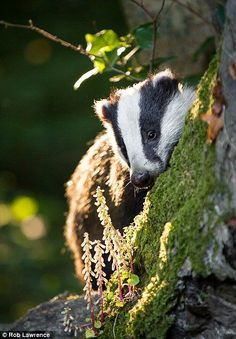 Rob Lawrence from Haverfordwest, Wales was also commended for this picture of a beautiful badger