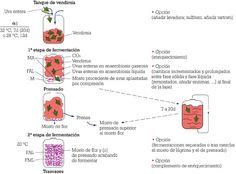 Figura 1: Diagrama del proceso de vinificación por maceración carbónica