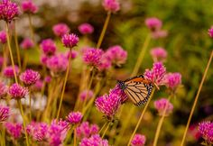 Monarch Butterfly <3 LAST DAY!!!! GET YOUR FREE PHOTOS when you subscribe to It Clicks Photo Top Photographers, Click Photo, Monarch Butterfly, Free Photos, Flowers, Photography, Wedding, Valentines Day Weddings, Photograph