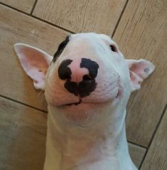 Uplifting So You Want A American Pit Bull Terrier Ideas. Fabulous So You Want A American Pit Bull Terrier Ideas. Chien Bull Terrier, Mini Bull Terriers, Miniature Bull Terrier, Bull Terrier Puppy, English Bull Terriers, Staffordshire Bull Terrier, Terrier Mix, Baby Dogs, Pet Dogs
