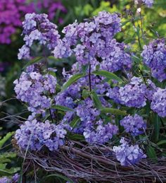 Phlox 'Blue Paradise' is a beautiful blue-lilac phlox with incredible scent, which attracts lots of butterflies and bees to its nectar-rich flowers. I love this variety which flowers right through July, August and into September.