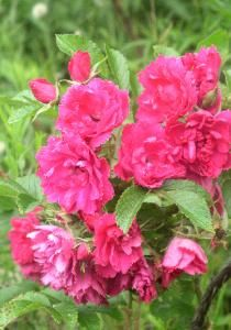 'F.J.Grootendorst' (Rugosa Hybrid') - The flowers look like carnations with serrated edges. This is one extremely thorny plant!
