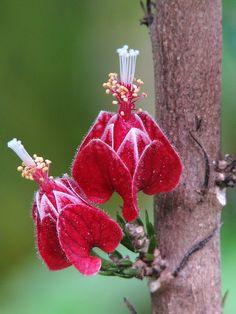 Goethea strictiflora.  Goethea is a genus of plants of the family Malvaceae, commonly placed instead in the genus Pavonia.  Order:Malvales Family:Malvaceae Genus:Goethea