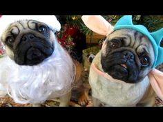 Precious Little Santa Pug - http://www.ruffingtonpost.com/precious-little-santa-pug/