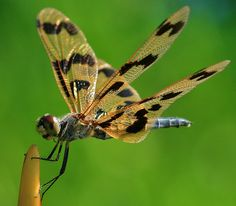The Silent Grapevine: Did You Know? Dragonflies are deaf.
