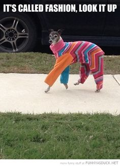 Italian greyhound ^_^