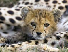 Africa | Baby cheetah.  Serengeti, Tanzania | ©Yvonne de Bruijn
