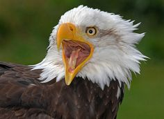 American Bald Eagle hears about politics in Washington