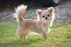 Prize-winning Chihuahua puppy stolen in Britain >> So pretty! Hope they get home