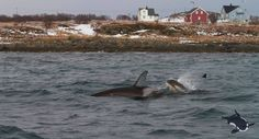 Sighting update of the last two days in Andfjord, Norway by NOS.
