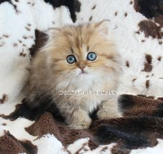 Chinchilla Silver, Shaded Silver, Golden & Blue Golden Persian kittens for sale in St. Teacup Persian Kittens, Persian Kittens For Sale, Kitten For Sale, Cats And Kittens, Ginger Kitten, Chinchilla, St Louis, Missouri, Emoji